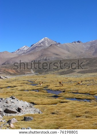 Vicunas on chilean altiplano, salar, river