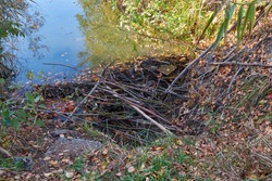 Video of the dam on a small stream built by beavers from branches. Novosibirsk, Siberia, Russia