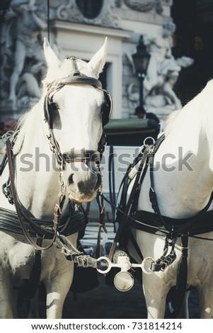 vienna  austria  white horses...