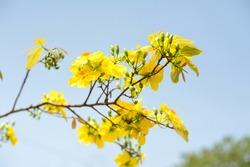 Viet nam yello bloosom flower on blue sky for srping times, viet nam lunar new year flower