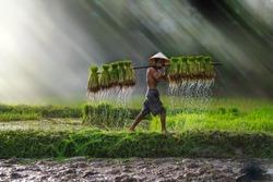 Vietnam farmer Bearing seedlings of rice to plant, Asian farmer Bearing rice seedlings on the back before the grown in paddy field,