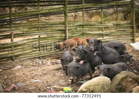 Vietnamese black small pigs in the local village, Sapa, Vietnam
