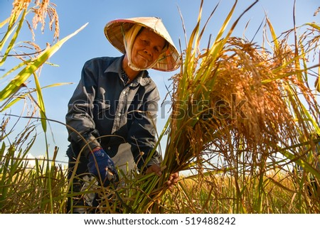Vietnamese farmer working on rice field in delta Vietnam.