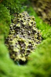 Vietnamese Mossy Frog camouflaged on mossy background Mossy Frog Mossy Frog (Theloderma Corticale)
