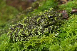 Vietnamese Mossy Frog camouflaged on mossy background/Mossy Frog/Mossy Frog (Theloderma Corticale)