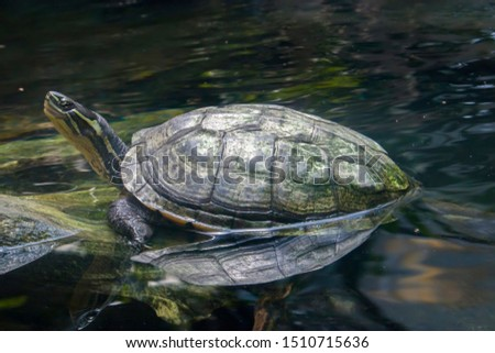 Vietnamese pond turtle (Mauremys annamensis)  The head is dark with three or four yellow stripes down the side.The plastron is firmly attached, yellow or orange, with a black blotch on each scute.
