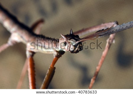 Vietnamese stick insect - stock photo