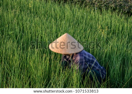 Vietnamese woman with conical hat working in the fields