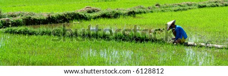 Vietnamese worker cultivating his rice paddy in the sun