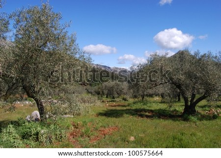 View across the olive groves towards the mountains, Refugio de Juanar, Near Marbella, Costa del Sol, Malaga Province, Andalusia, Spain, Western Europe.