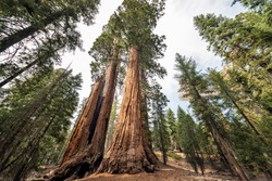 View at Gigantic Sequoia trees in Sequoia National Park, California USA