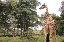 View behind of Rothschild giraffe in Giraffe center, Nairobi, Kenya, East Africa