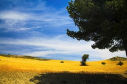 View beyond mediterranean pine tree shade on scenic valley with bright yellow harvested crop field, blue sky with cirrus clouds - Spain, Andalucia, Sierra Nevada