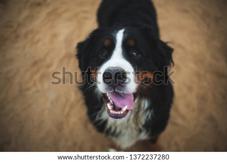 View from above at bernese mountain dog standing in the field and looking at camera. Soft focus. Focused on nose #1372237280