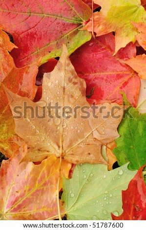 View From Above of a Colorful Maple Leaves in Autumn