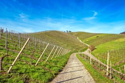 View from above over curved path winding upwards in beautiful vineyard landscape. early spring.  Clear blue sky, vivid greens, wide angle shot.