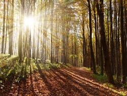 view from autumnal hardwood forest with bun beam- european beechs (fagus sylvatica)