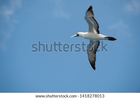 View from below against blue sky of a Masked Booby (Sula dactylatra) in flight with outstretched wings backlit - Image #1418278013