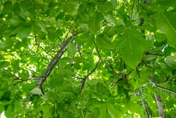 View from below into a lush vibrant green walnut tree full of branches with many leaves. Leaf veins visible