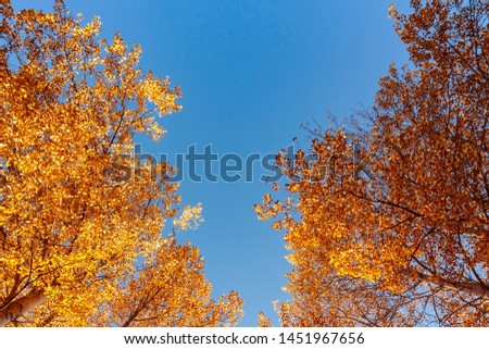 View from below on the tops of aspens in the autumn forest against the blue sky, colorful autumn landscape with copy space
