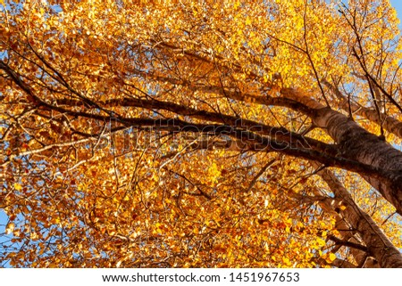 View from below on the tops of aspens in the autumn forest, colorful autumn landscape