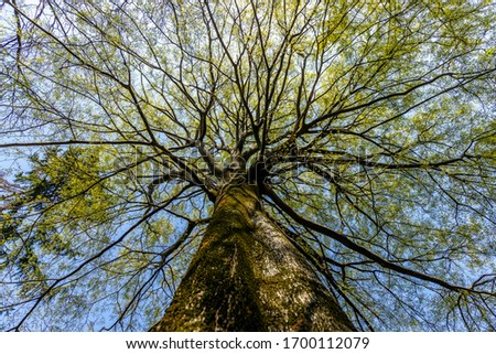 View from below to a huge tree. It is a Celtis australis, commonly known as the European nettle tree, Mediterranean hackberry, lote tree, or honeyberry. The fruit of this tree is sweet and edible. Stockfoto ©