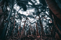 View from bottom: dark corridor inside of a banana garden in a tropical rainforest: plenty of banana palms with partly dry trunks, thick layer of the dry leaves on the ground, vivid colors