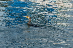 view from the pier of cormorant swimming while fishing  phalacrocorax carbo