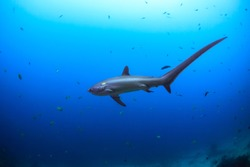 View from the side of a big Thresher shark in Malapascua, Philippines