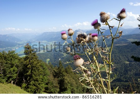 View from the zwolferhorn mountain on to the Wolfgangsee in Austria, with wollkopfige kratzdistel flower in front