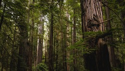 View looking through beautiful redwood trees in Redwood State and National Park lush forest of Northern California. Giant tree trunks, massive limbs, and green needles lit by spectacular lighting.