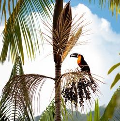 View of a black-billed toucan (Ramphastos vitellinus) eating fruit in the Atlantic Forest, Paraty, Rio de Janeiro - Brazil