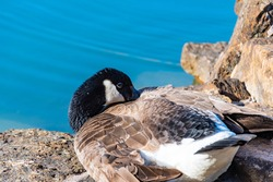 View of a Canadian goose resting by a pond in a park