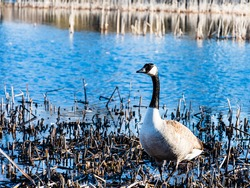 View of a Canadian goose standing near a pond