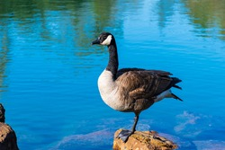 View of a Canadian goose standing on a stone in a pond