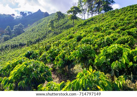 View of a coffee plantation near Manizales, Colombia