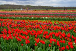 View of a colorful tulip field with flowers in bloom in Cream Ridge, Upper Freehold, New Jersey, United States