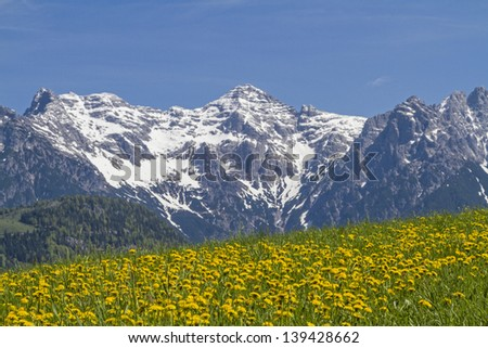 View of a flowering dandelion meadow with mountains Loferer
