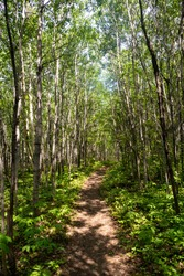 View of a forest trail with birch trees in Charlevoix, Quebec