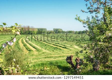 View of a freshly mown meadow in De Betuwe region in the Netherlands #1297149451