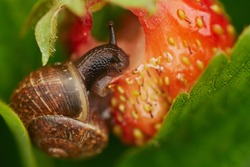 View of a grape snail devouring a strawberry harvest, on a large ripe bright red strawberry creeps and spoils the harvest, a bright colorful photograph with a selective depth of field, close-up