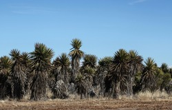 View of a grey, yellow, green Faxon Yucca plant standing tall in a group with clear blue sky background