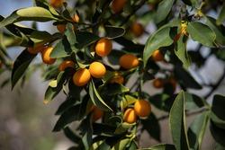 View of a Kumquat or Cumquat branch with fruit hanging. Fortunella Margarita.