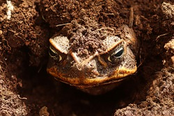 view of a large frog's head sticking out of the ground while the rest of the body is buried in the soil