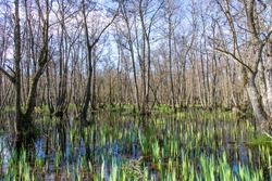 View of a large number of trees in early spring with first sign of new leaves submerged in a small pond with first new green reed beds in the Zeeperduinen near Burg Haamstede in the Netherlands