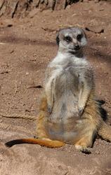 View of a meerkat (suricate Suricata suricatta) standing up