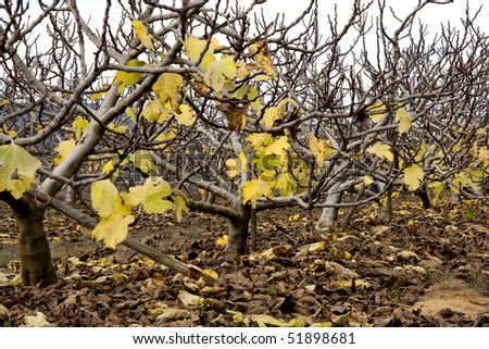 View of a plantation of fig trees on the autumn.