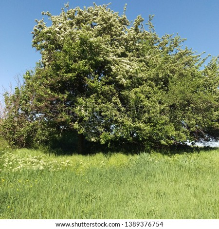 View of a ravine overgrown with grass and a blooming wild pear tree at the top of a ravine