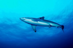 View of a Silky shark (Carcharhinus falciformis) from below