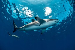 View of a silky shark from bellow